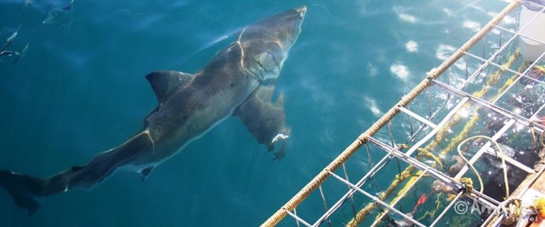 Gansbaai, South Africa, Great White Shark Conservation Volunteer