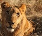 Kruger National Park and Reserves, South Africa or Botswana, FGASA Level 1 Field Guide Course - 54 Days
