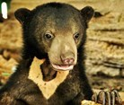 Sepilok and Sabah, Borneo, Borneo Sun Bear and Rainforest Experience
