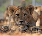 Sable Ranch, South Africa, Lion and Cheetah Conservation at Sable Ranch