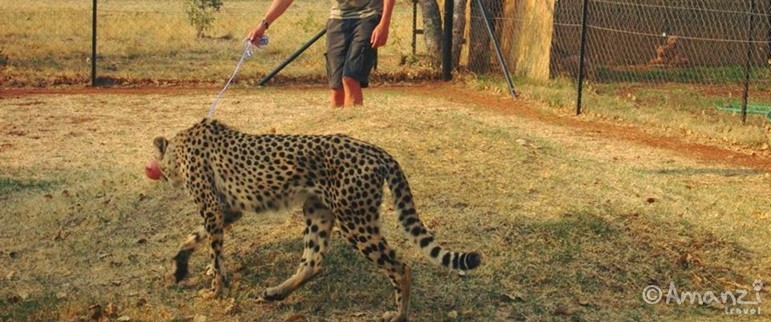 Limpopo Province, South Africa , Volunteer Living with Cheetahs