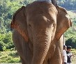 Chiang Mai Elephant Journey to Freedom