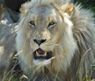 Eastern Cape, South Africa, Big 5 Reserve with Lion and Tiger Conservation