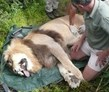 volunteer with lions, Eastern Cape, South Africa, Shamwari Conservation Volunteer