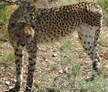 cheetah at Namibia Wildlife Sanctuary, Windhoek, Namibia, Naankuse Wildlife Sanctuary