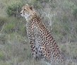 Eastern Cape, South Africa, Karoo Cheetah and Wildlife Research Volunteer