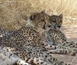 Near Port Elizabeth, Cheetah and Wildlife Rehabilitation Volunteer