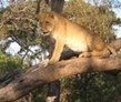 Gweru, Zimbabwe, Lion Rehabilitation Volunteer