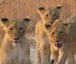 Gweru, Zimbabwe, Lion Breeding and Release Volunteer