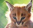 caracal conservation, Windhoek, Namibia, Naankuse Wildlife Sanctuary