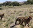 cheetah, Namib Desert, Namibia, Big Cat Release and Tracking Volunteer