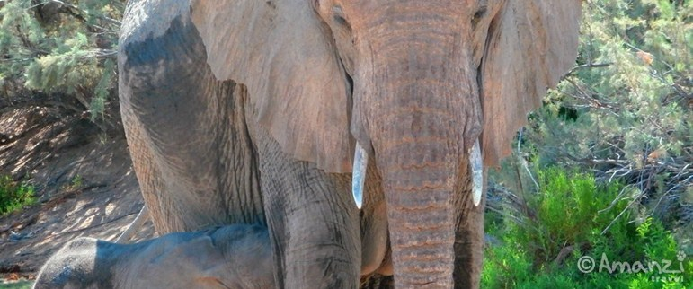 Damaraland, Namibia, Desert Elephant Family Volunteering Project