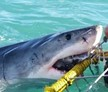 Great White Shark Conservation Volunteer
