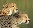 Cheetah and Wildlife Conservation Experience