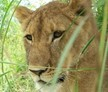 Zambia Lion Conservation and Community